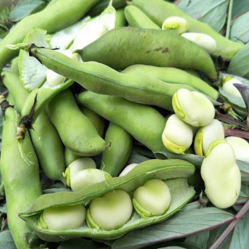 澜沧本地蚕豆生态种植